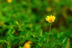 Fleur s'élevante jaune de wedelia images libres de droits