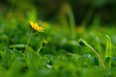 Fleur s'élevante jaune de wedelia photographie stock