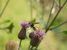 Fleur s'élever de Guêpe-abeille Fond vert Images stock