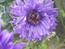 Fleur s violet s s Photo libre de droits