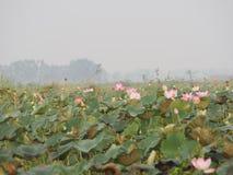 Fleur sacrée de Lotus Pink de Nelumbo dans le boraphet de bondon d'étang photos stock