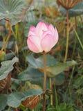 Fleur sacrée de Lotus Pink de Nelumbo dans le boraphet de bondon d'étang photo libre de droits