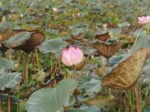 Fleur sacrée de Lotus Pink de Nelumbo de fleur dans le boraphet de bondon d'étang images libres de droits