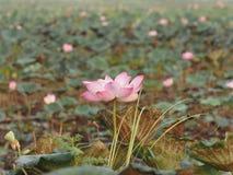 Fleur sacrée de Lotus Pink de Nelumbo de pétale de fragilité dans le boraphet de bondon d'étang photos stock