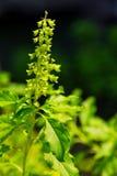Fleur sainte de basilic Photo libre de droits
