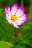Fleur sainte de galsang Photos libres de droits