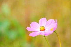 Fleur sainte de galsang Image stock