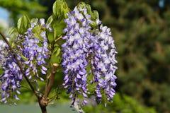 Fleur, saphir bleu de glycine chinoise image libre de droits