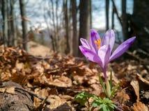 Fleur sativus de fleur de crocus en fleurs pourpres fraîches de safran de forêt de montagne belles Crocus fleurissant en premier  photo stock