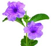 Fleur sautante de cosse d'isolement sur le blanc photos libres de droits