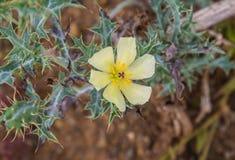 Fleur sauvage épineuse jaune Photos libres de droits