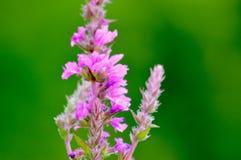 Fleur sauvage 2 Photographie stock libre de droits