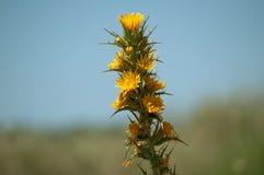 Fleur sauvage Photographie stock libre de droits