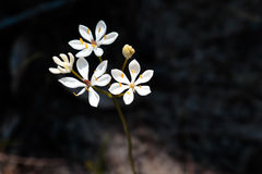 Fleur sauvage blanche Photo stock