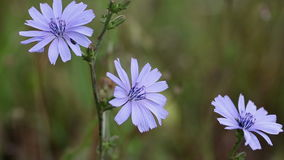 Fleur sauvage bleue de chicorée commune d'intybus de Cichorium en nature banque de vidéos