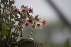 Fleur sauvage chinoise Photos libres de droits