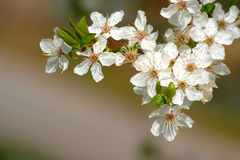 Fleur sauvage d'arbre Photos stock