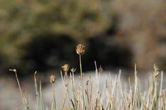 Fleur sauvage d'Argentine Photo libre de droits