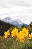 Fleur sauvage d'arnica Photos libres de droits