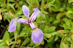 Fleur sauvage d'iris Photo libre de droits