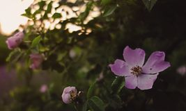 Fleur sauvage dans le coucher du soleil image libre de droits