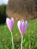 Fleur sauvage dans le domaine Images stock