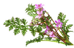 Fleur sauvage de Bill de la cigogne Photographie stock
