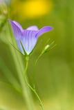 Fleur sauvage de campanule Images stock