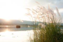Fleur sauvage de canne ou d'herbe soufflant dans le vent Lac, montagne, a Photographie stock libre de droits