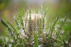 Fleur sauvage de chardon Photographie stock