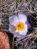 Fleur sauvage de crocus de prairie Images stock