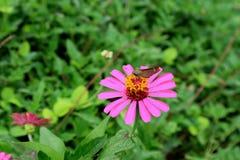 Fleur sauvage de floraison de cosmos de rose vibrant avec un papillon rassemblant son nectar images stock
