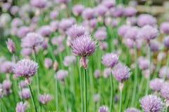 Fleur sauvage de floraison de ciboulette dans un jardin Photo libre de droits