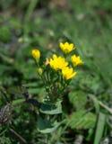 fleur sauvage de Jaune-moût Photo stock