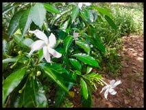 Fleur sauvage de laine d'attente de nature du Sri Lanka photos stock