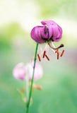 Fleur sauvage de lis Photographie stock