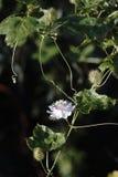 Fleur sauvage de passiflore comestible de passiflore (foetida de passiflore) Photographie stock libre de droits