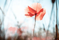 Fleur sauvage de pavot Photos libres de droits