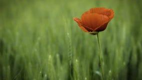 Fleur sauvage de pavot Image stock