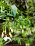 Fleur sauvage de prune de l'eau Photo libre de droits