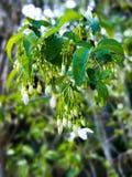 Fleur sauvage de prune de l'eau Image libre de droits