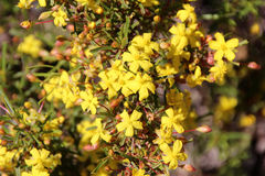 Fleur sauvage de renoncule de Huegelii de Hibbertia Photo libre de droits