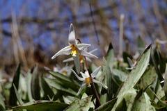 Fleur sauvage 03 de ressort Image stock