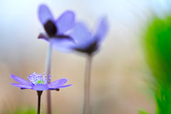 Fleur sauvage de ressort bleu Photos stock