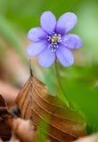 Fleur sauvage de ressort bleu, nobilis de Hepatica Image libre de droits
