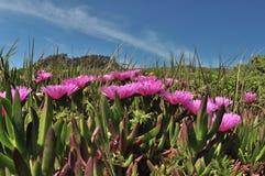 Fleur sauvage de ressort - lis de glace Photo libre de droits