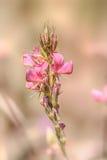 Fleur sauvage de sainfoin Photographie stock libre de droits