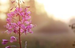 Fleur sauvage en brouillard sur le coucher du soleil Images libres de droits