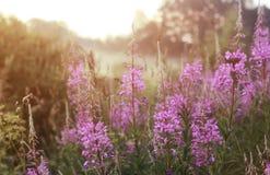 Fleur sauvage en brouillard sur le coucher du soleil Photos stock