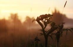 Fleur sauvage en brouillard sur le coucher du soleil Photographie stock